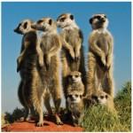 Puzzle  Heye-70173-29631 Meerkats