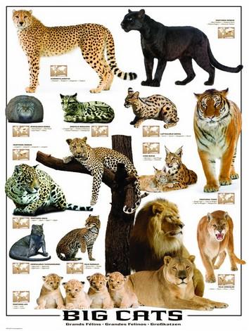 Puzzle Eurographics-6000-0125 Große Raubkatzen der Welt