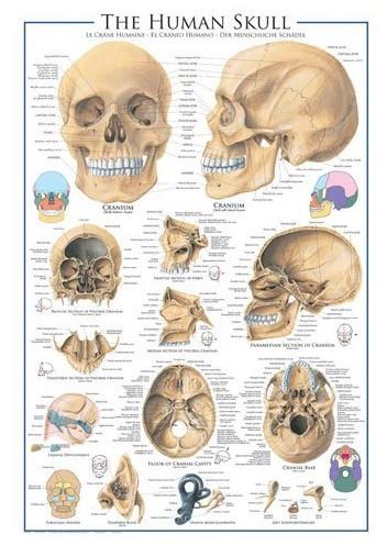 Puzzle Eurographics-6000-0306 Der menschliche Schädel