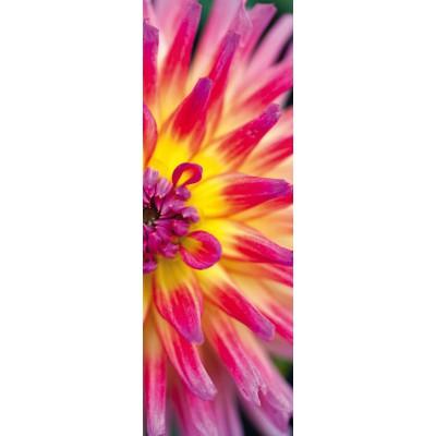 Puzzle Schmidt-Spiele-59330 Alan Shapiro, Leuchtende Kaktus-Dahlie