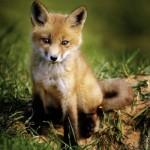 Puzzle   Kleiner Fuchs