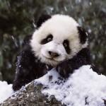 Puzzle   Süßer Panda