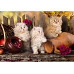 Puzzle  Grafika-Kids-00323 XXL Teile - Persian kittens