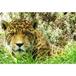 Puzzle  Grafika-Kids-00539 XXL Teile - Jaguar