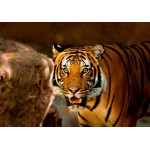 Puzzle  Grafika-Kids-00541 Tiger