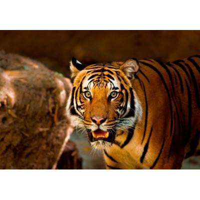 Puzzle Grafika-Kids-00541 Tiger