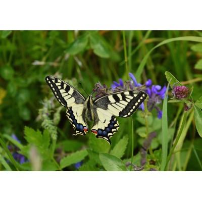 Puzzle Grafika-Kids-01222 Schmetterling