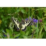Puzzle  Grafika-Kids-01225 XXL Teile - Schmetterling