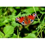 Puzzle  Grafika-Kids-01227 Schmetterling