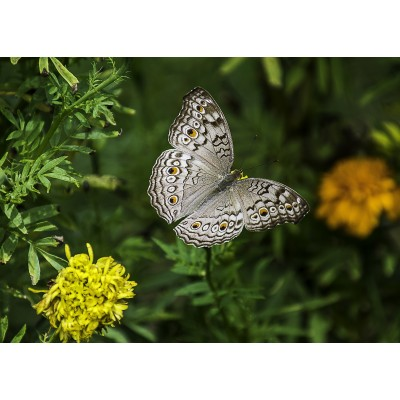 Puzzle Grafika-Kids-01238 Schmetterling