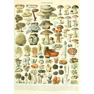 Puzzle Grafika-00590 Illustration du Larousse: Champignons, XIXè Siècle