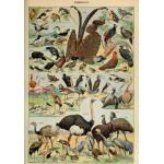 Puzzle  Grafika-00595 Illustration du Larousse pour Tous: Oiseaux, XIXè Siècle