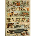 Puzzle  Grafika-00597 Illustrations du Larousse pour Tous: Mammifères, XIXè Siècle