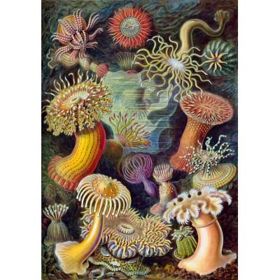Puzzle Grafika-00614 Ernst Haeckel: Anémones de Mer, 1904