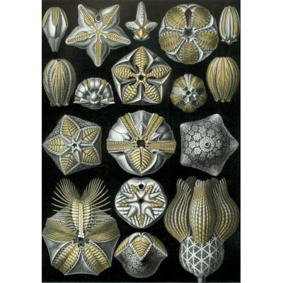 Puzzle Grafika-00620 Ernst Haeckel: Les Blastoidea, 1904
