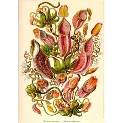 Puzzle Grafika-01121 Ernst Haeckel: Kunstformen der Natur - Nepenthaceae (1904)