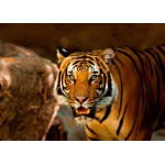 Puzzle  Grafika-Kids-00542 Tiger