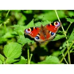 Puzzle  Grafika-Kids-01226 Schmetterling