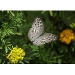 Puzzle  Grafika-Kids-01238 Schmetterling