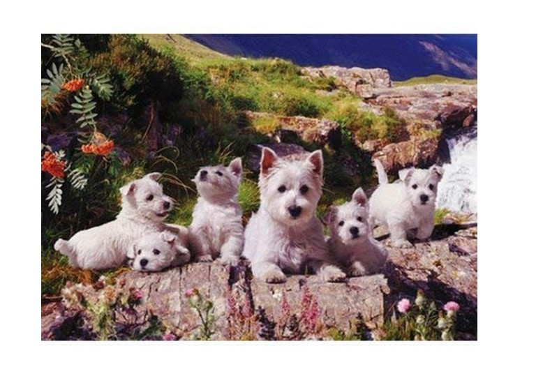 the-house-of-puzzles-westies-1000-teile-puzzle-the-house-of-puzzles-0786