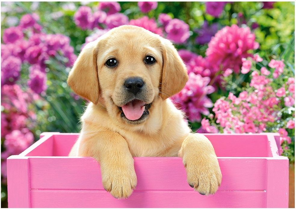 Labrador-Welpe in pinker Box