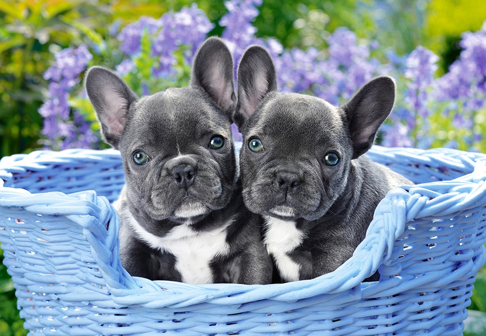 castorland-french-bulldog-puppies-1000-teile-puzzle-castorland-104246